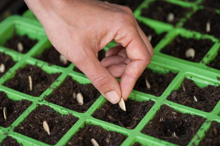 Подготовка семян кабачков к посеву на рассаду в домашних условиях 12