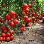 Хорошие и урожайные сорта томатов для высадки в теплицы в средней полосе России