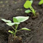 Когда и как сеять (сажать) баклажаны на рассаду в 2020 году