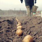 Когда и как сажать картошку в открытый грунт по лунному календарю в 2020 году