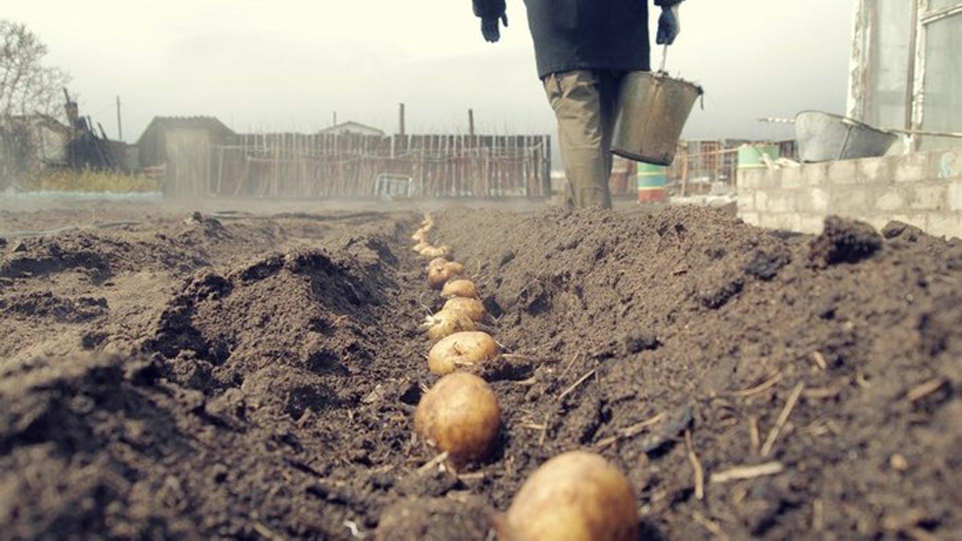 Когда сажать картошку в 2018 году