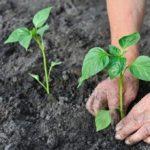 Как правильно сеять перец на рассаду  в домашних условиях