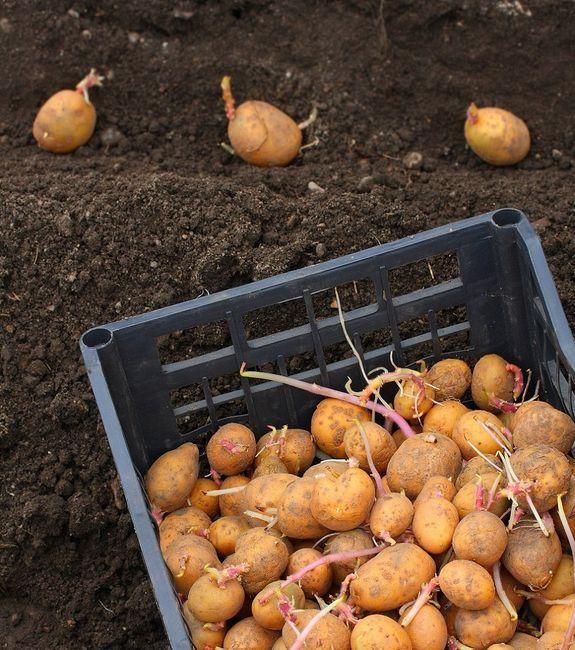 Какую картошку лучше всего сажать 53